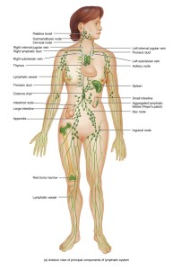 Full-Body-Lymphatic-System